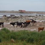 Vaches au bord de la Mer Atlantique